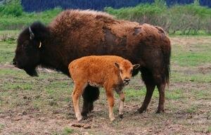 wood-bison-calf